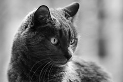 Cat's Curiosity (Angelina.Maria) Tags: blackandwhite monochrome animal cat canon feline 85mm graycat