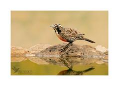 Loica (Eriko Mendoza) Tags: chile santiago bird aves hide loica abtao