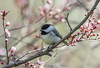 Chicka-wee-wee-weeee!   1Z9A3178 (DCLbyrdnyrd) Tags: tree blossoms chickadee floweringplum