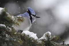 nikon D700 (Rich de Tilly utilisateur Nikon) Tags: nature animal nikon lumière couleurs attitude tamron oiseau geai animalier d700 nikond700 naturesauvage tamron150600mm