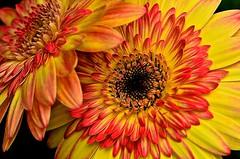 Gerber Daisy (deanrr) Tags: plant flower nature spring outdoor alabama bloom gerberdaisy 2016 morgancountyalabama