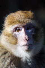 the aristocrat - monkey portrait - Barbary Macaque - Berberaffe (okrakaro) Tags: portrait white nature animal germany zoo monkey natur collar rubens ruff februar affe rheine 2016 barbarymacaque berberaffe thearistocrat aristokrat