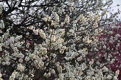 Ume Blossoms, Kyoto Botanical Gardens (kyoshiok) Tags: japan kyotobotanicalgardens umeblossoms