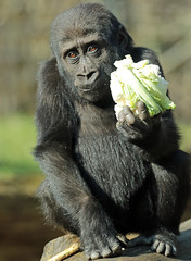 gorilla burgerszoo JN6A5634 (j.a.kok) Tags: gorilla burgerszoo westernlowlandgorilla westelijkelaaglandgorilla