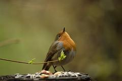 Robin (Ennio Milani) Tags: red robin garden rouge nikon erithacus gorge rubecula d610 pettirosso