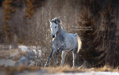 Mahadin (Hestefotograf.com) Tags: horses horse oslo norway caballo cheval married welsh arabian justmarried cavalo pferd stallion canter equine equus paard darkhorse friesian purarazaespanol equinephotographer equinephoto hestefotograf