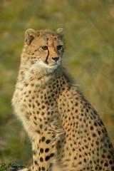 Cheetah (pclaesen) Tags: zoo depthoffield bigcat cheetah predator beeksebergen dierentuin nikond3200 hilvarenbeek acinonyxjubatus roofdier jachtluipaard 55300mm flickrbigcats