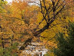 Rakish Tree (Boneil Photography) Tags: autumn tree fall leaves canon powershot g16 boneilphotography brendanoneil