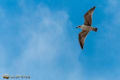 Gaviota Al Vuelo (jcsperea) Tags: canon eos photo aves andalucia cordoba fotografia gaviotas 70d jcsperea