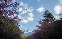 20160306-DSC_5976 (Kay's...) Tags: cherryblossom sakura   wuling wulingfarm