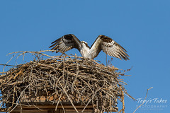 Osprey returns from Home Depot sequence - 27 of 27