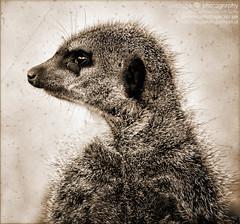 meerkat (photoga photography) Tags: england nature animals canon animalkingdomelite photogaphotography