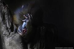 Muss das sein ??? (Erwin Lorenzen) Tags: animal germany deutschland zoo monkey hamburg elo tiergarten mandrill tier pavian tierfotografie primaten mandrills mandrillussphinx tierportrait diamondclassphotographer canoneos5dmarkii hagenbeckhamburg