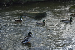 Cannon Hall (485) (rs1979) Tags: duck yorkshire ducks mallard mallards barnsley southyorkshire cannonhall cawthorne cannonhallcountrypark