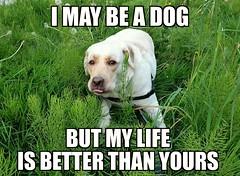 Gracie's words of wisdom (walneylad) Tags: dog pet cute puppy spring gracie lab labrador canine meme april labradorretriever