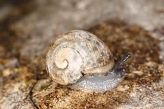 Helicoidea sp. (dhobern) Tags: denmark europe may mollusca gastropoda 2016 sborg