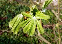 2016-04-01 Secret wood (47)feuille (april-mo) Tags: tree leaf spring marronnier