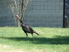 3/26/16 - Zion Rd.: Wild Turkey (mavra_chang) Tags: birds animals turkeys wildturkeys