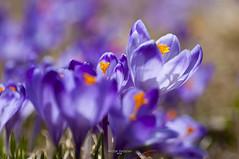 krokus - crocus (Michał Stolarski) Tags: flower poland polska crocus dolina tatry krokus kwiat chochołowska