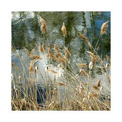 soleil voil d'avril...veiled April sun ... (anne marie bouyssou) Tags: nature rivire avril reflets roseaux prntemps soleilvoil