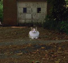 Gracie Jo takes her shift as neighborhood watchcat (3 of 3) (rootcrop54) Tags: female cat chat garage dilute kitteh calico  macska neighbor gatto katzen kot koka kedi neighborhoodwatch katt kissa kttur maka kucing   kat  maek kais pisic gorbe graciejo