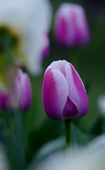 Ollioules Darwin hybrid tulip and daffodils (Niki Gunn) Tags: flower macro pentax tulip april tamron 90mm k5 tamron90mm doubletulip 2016 tamron90mmf28 tamron90mmmacro tamronspaf90mmf28