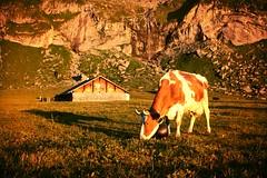 Hohkien, Kiental (frnzi87) Tags: mountain switzerland kuh cow waterfall wasserfall farming htte berneroberland feierabend abendlicht kiental hochebene