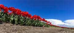 Red army in Lisse (zilverbat.) Tags: flowers red wallpaper holland tourism nature dutch season spring blauw tulips image outdoor postcard nederland thenetherlands pride tourist bild bol cinematic lente rood wit bollen tulipfield tourisme tulipa tulipe daffodill tulpen zuidholland voorjaar bollenveld bollenstreek tulpenveld roodwitblauw dutchholland zilverbat champsdetulipes tulpenakker campoditulipano southofhaarlem southwestofamsterdam