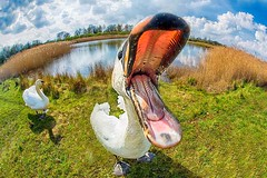 Open wide (bainebiker) Tags: uk lake closeup mouth countryside swan wildlife lincolnshire naturereserve closeencounter tonemapped canonef15mmf28fisheye deepinglakes