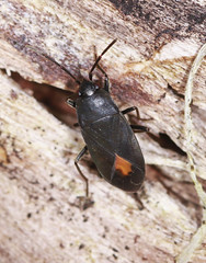 Ground Bug - Aphanus rolandri (Prank F) Tags: macro nature closeup bug insect wildlife sandy ground thelodge rspb bedfordshireuk aphanusrolandri