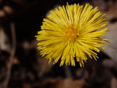 Tussilago farfara (coltsfoot) (kevinandrewmassey) Tags: flower flora n wildflower linvillegorge coltsfoot tussilago farfara
