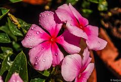A bit of beauty to make your day!! (t.e.e.j.u.s) Tags: pink india flower nature beauty closeup asia kerala dew pinkflower munnar flowerdew