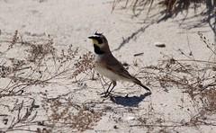 Horned lark (anitabryk2) Tags: birds lark hornedlark