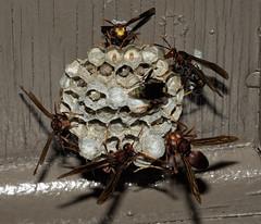 Paper wasp nest (Distraction Limited) Tags: arizona nature tucson insects eggs wasps larvae coronadonationalforest catalinamountains catalinas sabinocanyon santacatalinamountains polistes waspnests paperwasps paperwaspnests umbrellawasps sabinocanyon20160427