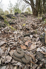 Vipera berus (Tomas_K) Tags: european common viper adder vipera berus obecn obecna zmije