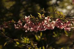Unforgetable Keukenhof (Natali Antonovich) Tags: park flowers holland spring blossom cherryblossom tradition cherrytree keukenhof unforgetablekeukenhof enamouredspring