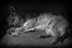 Max  - dog sun bathing (Daz Smith) Tags: city uk portrait people urban blackandwhite bw dog sun chihuahua streets blancoynegro monochrome canon fur blackwhite bath sleep candid citylife thecity streetphotography canine sunbathe lyingdown canon6d dazsmith bathstreetphotography