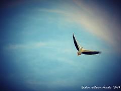 SeaHawk (Helen Beale) Tags: bird flight seahawk