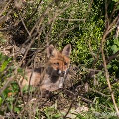 FoxSBahn-0328.jpg (mono-foto) Tags: wien tiere fuchs säugetiere