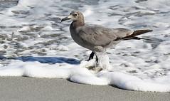 Grey Gull (Med Gull) Tags: zegrahm cruise southamerica chile atacama mejillones gull greygull graygull