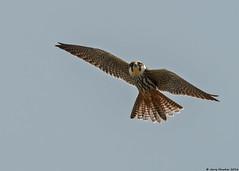 Hobby : Falco subbuteo (Jerry Hawker) Tags: somerset hobby birdofprey rspb somersetlevels falcosubbuteo hamwall jerryhawker