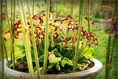 Dans notre jardin, In our garden, Dolembreux, Belgium (claude lina) Tags: flowers nature fleurs garden spring belgium belgique jardin pot printemps provincedelige dolembreux claudelina