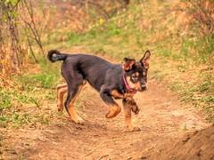 Chloe (MSVG) Tags: park dog fish canada calgary creek puppy shepherd chloe rottweiler german alberta boxer pup roxy rottweiller provincial