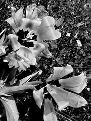 Blasted Tulips (Broot - Thanks for a half million views!!) Tags: blackandwhite bw plant paris flower monochrome cemetery grave spring memorial mourning tomb offering april tribute montparnasse grief