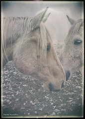 Horses in Fog (Sierragoddess) Tags: horses horse usa white snow west fog vintage nose spring ears filter northdakota western prairie mane darlahueske