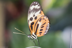 Butterfly 2016-29 (michaelramsdell1967) Tags: light wild orange white black color macro green love nature beautiful beauty animal animals closeup butterfly bug garden insect spring eyes nikon natural cincinnati wildlife butterflies insects zen upclose