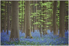 Enchanting forest (Paula Angls) Tags: trees forest bomen arboles purple belgium bos halle enchanted hallerbos enchanting betoverend boshyancinten