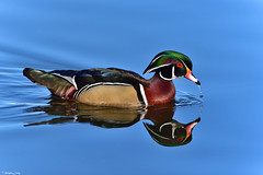 Wood Duck (PhotoCity.CA) Tags: blue lake color reflection water beauty birds spring ottawa woodduck mudlake