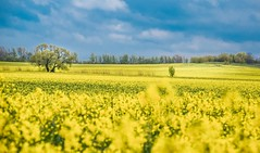 Rapeseed time again (marionrosengarten) Tags: yellow gelb fields colourful raps rapeseed