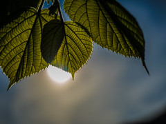 in front of the sun (Kristoffersonschach) Tags: green leaf olympus blatt omd mft